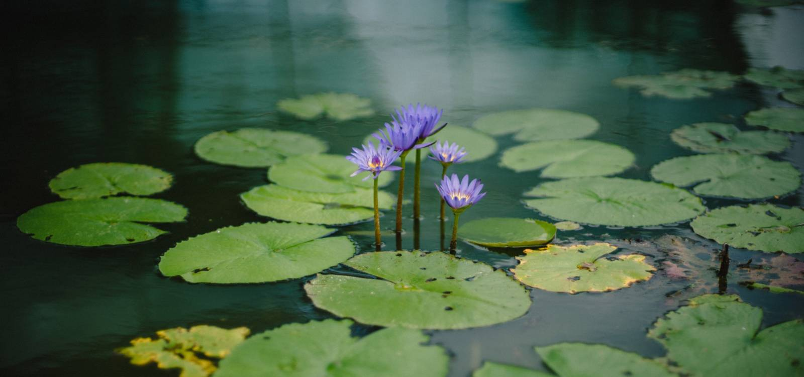 purple-pond-flowers.jpg